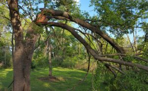 Cascadilla Tree Service Mulberry tree